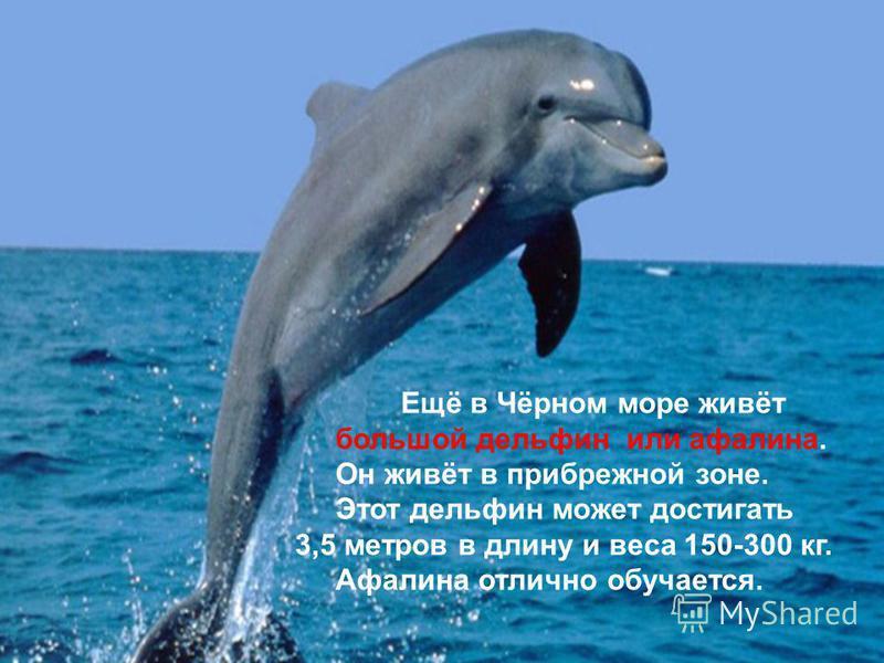Ещё в Чёрном море живёт большой дельфин или афалина. Он живёт в прибрежной зоне. Этот дельфин может достигать 3,5 метров в длину и веса 150-300 кг. Афалина отлично обучается.