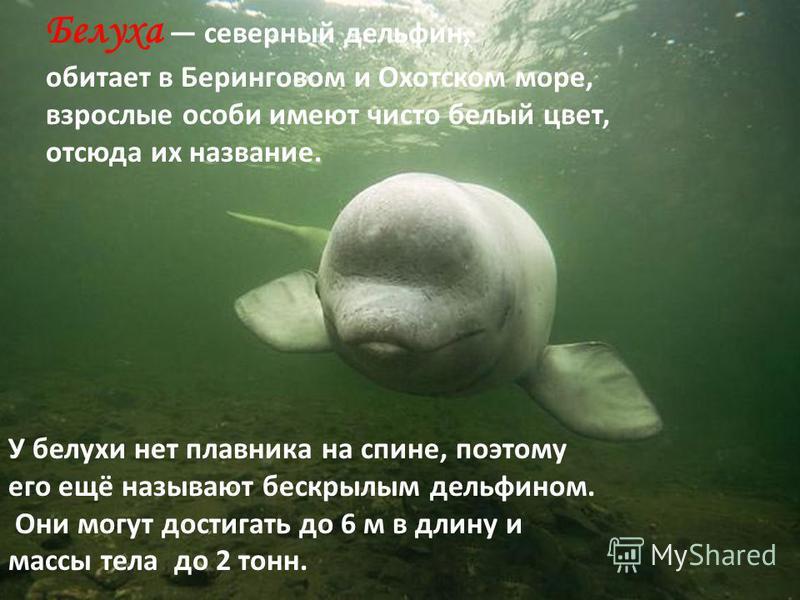 Белуха северный дельфин, обитает в Беринговом и Охотском море, взрослые особи имеют чисто белый цвет, отсюда их название. У белухи нет плавника на спине, поэтому его ещё называют бескрылым дельфином. Они могут достигать до 6 м в длину и массы тела до