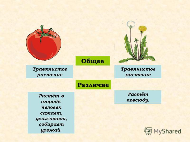 Общее Различие Травянистое растение Растёт в огороде. Человек сажает, ухаживает, собирает урожай. Растёт повсюду.