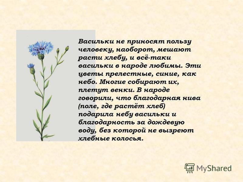 Васильки не приносят пользу человеку, наоборот, мешают расти хлебу, и всё-таки васильки в народе любимы. Эти цветы прелестные, синие, как небо. Многие собирают их, плетут венки. В народе говорили, что благодарная нива (поле, где растёт хлеб) подарила