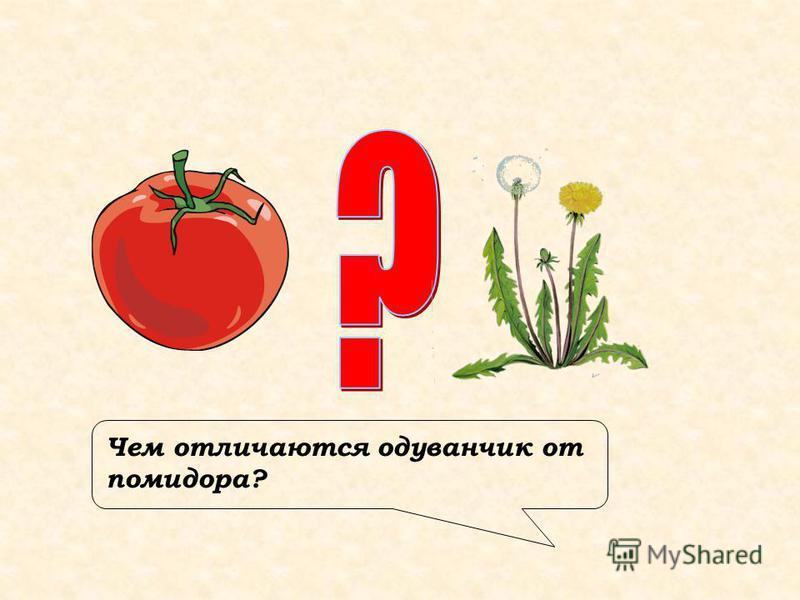 Чем отличаются одуванчик от помидора?