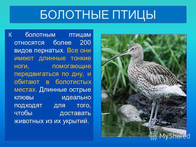 БОЛОТНЫЕ ПТИЦЫ К болотным птицам относятся более 200 видов пернатых. Все они имеют длинные тонкие ноги, помогающие передвигаться по дну, и обитают в болотистых местах. Длинные острые клювы идеально подходят для того, чтобы доставать животных из их ук