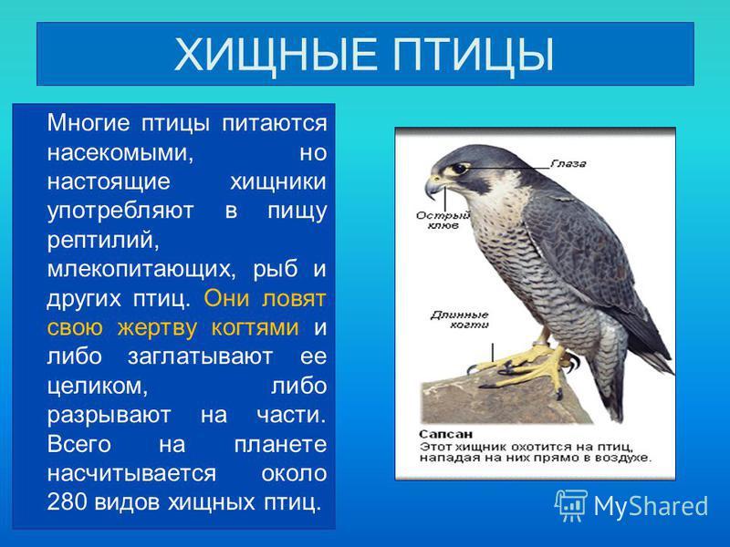 ХИЩНЫЕ ПТИЦЫ Многие птицы питаются насекомыми, но настоящие хищники употребляют в пищу рептилий, млекопитающих, рыб и других птиц. Они ловят свою жертву когтями и либо заглатывают ее целиком, либо разрывают на части. Всего на планете насчитывается ок