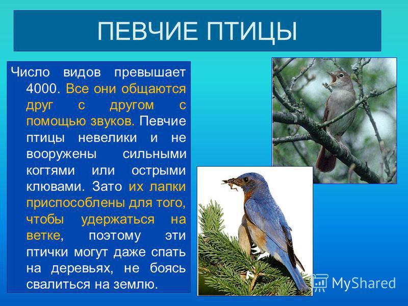 ПЕВЧИЕ ПТИЦЫ Число видов превышает 4000. Все они общаются друг с другом с помощью звуков. Певчие птицы невелики и не вооружены сильными когтями или острыми клювами. Зато их лапки приспособлены для того, чтобы удержаться на ветке, поэтому эти птички м