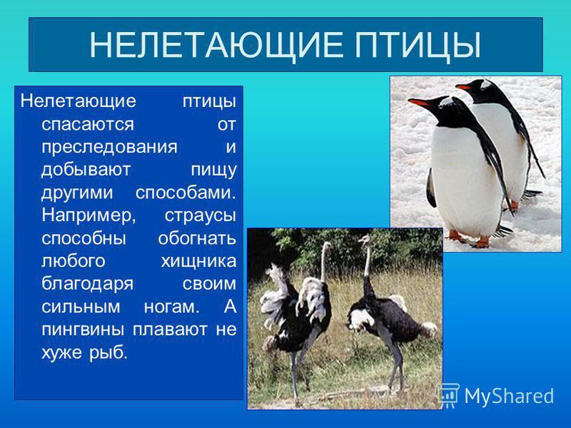 НЕЛЕТАЮЩИЕ ПТИЦЫ Нелетающие птицы спасаются от преследования и добывают пищу другими способами. Например, страусы способны обогнать любого хищника благодаря своим сильным ногам. А пингвины плавают не хуже рыб.