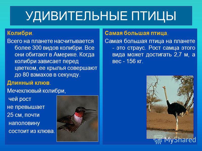 УДИВИТЕЛЬНЫЕ ПТИЦЫ Колибри. Всего на планете насчитывается более 300 видов колибри. Все они обитают в Америке. Когда колибри зависает перед цветком, ее крылья совершают до 80 взмахов в секунду. Длинный клюв. Мечеклювый колибри, чей рост не превышает