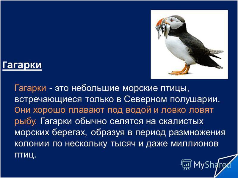 Г агарки Гагарки - это небольшие морские птицы, встречающиеся только в Северном полушарии. О ни хорошо плавают под водой и ловко ловят рыбу. Гагарки обычно селятся на скалистых морских берегах, образуя в период размножения колонии по нескольку тысяч