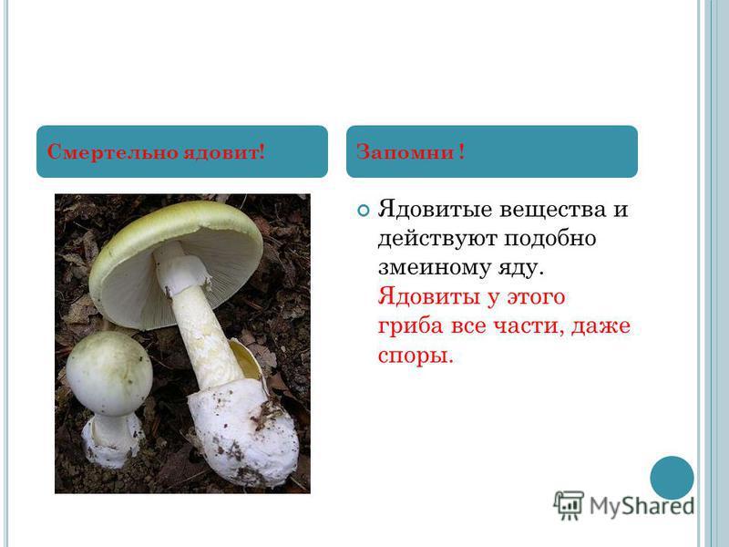 Ядовитые вещества и действуют подобно змеиному яду. Ядовиты у этого гриба все части, даже споры. Смертельно ядовит!Запомни !