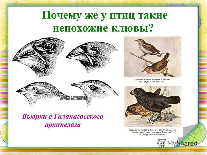 Почему же у птиц такие непохожие клювы? Вьюрки с Галапагосского архипелага