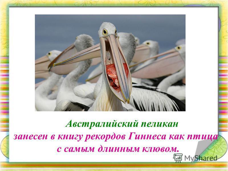 Австралийский пеликан занесен в книгу рекордов Гиннеса как птица с самым длинным клювом.
