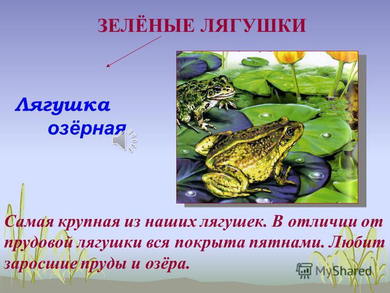 Лягушка остромордая Всю жизнь эта лягушка проводит на суше. (зимует тоже в почве)