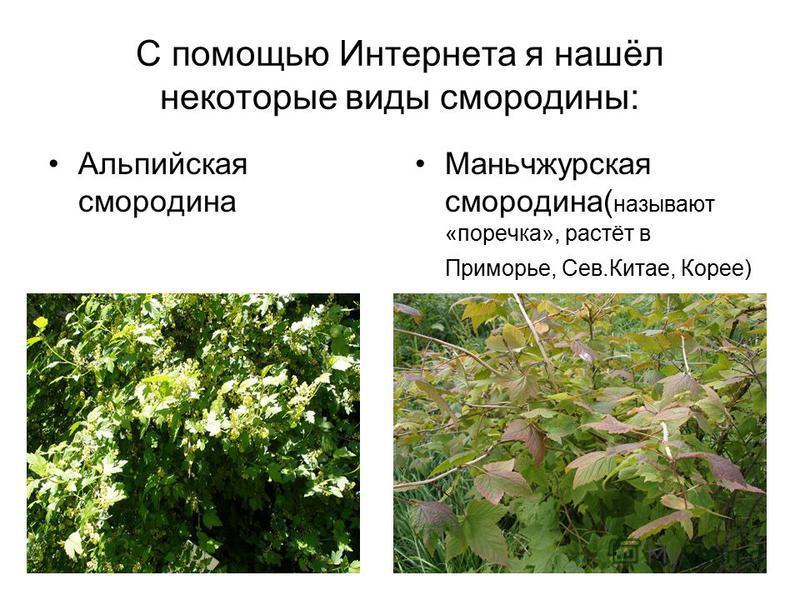 С помощью Интернета я нашёл некоторые виды смородины: Альпийская смородина Маньчжурская смородина( называют «поречка», растёт в Приморье, Сев.Китае, Корее)