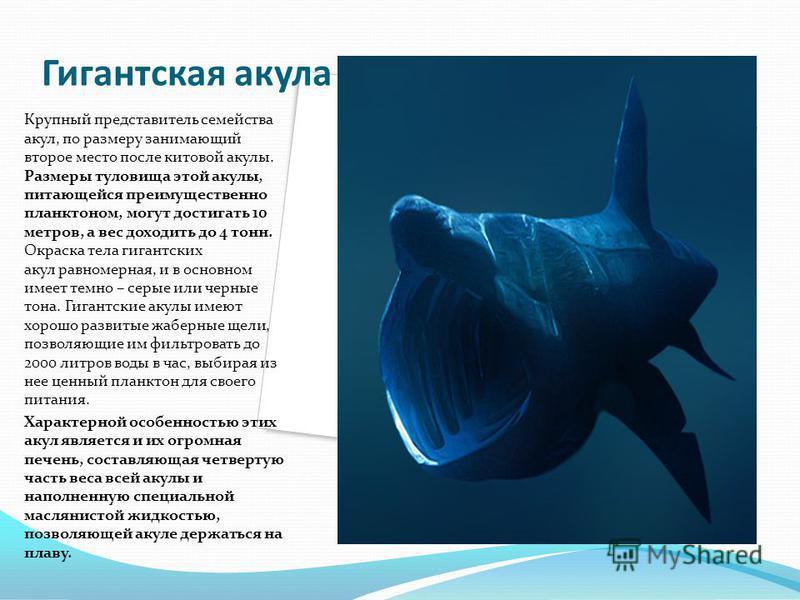 Гигантская акула Крупный представитель семейства акул, по размеру занимающий второе место после китовой акулы. Размеры туловища этой акулы, питающейся преимущественно планктоном, могут достигать 10 метров, а вес доходить до 4 тонн. Окраска тела гиган