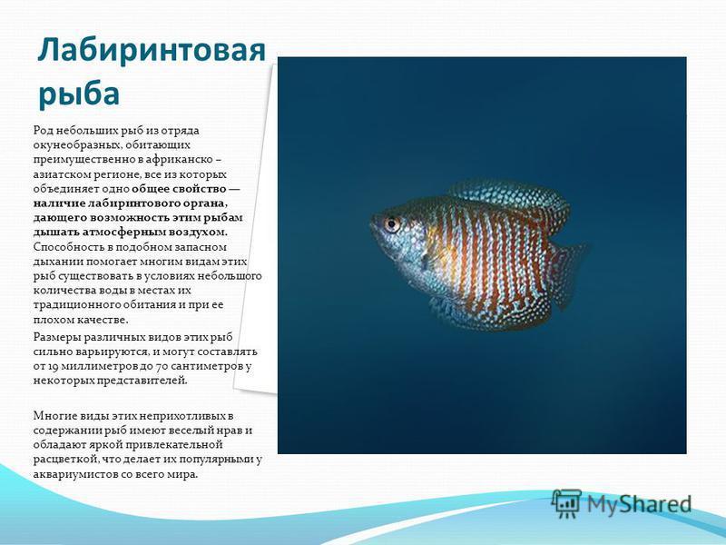 Лабиринтовая рыба Род небольших рыб из отряда окунеобразных, обитающих преимущественно в африканско – азиатском регионе, все из которых объединяет одно общее свойство наличие лабиринтового органа, дающего возможность этим рыбам дышать атмосферным воз