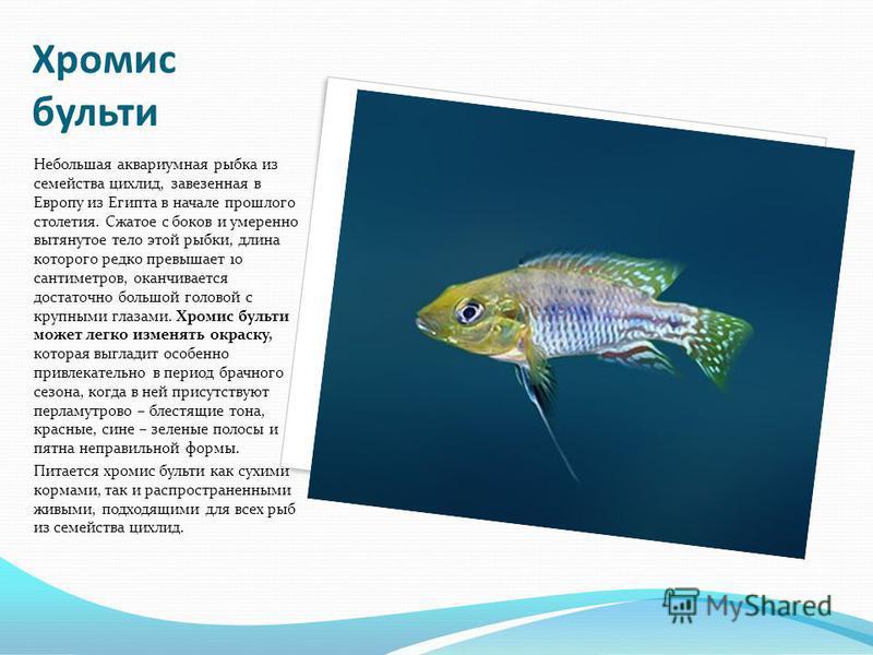 Хромис бульти Небольшая аквариумная рыбка из семейства цихлид, завезенная в Европу из Египта в начале прошлого столетия. Сжатое с боков и умеренно вытянутое тело этой рыбки, длина которого редко превышает 10 сантиметров, оканчивается достаточно больш