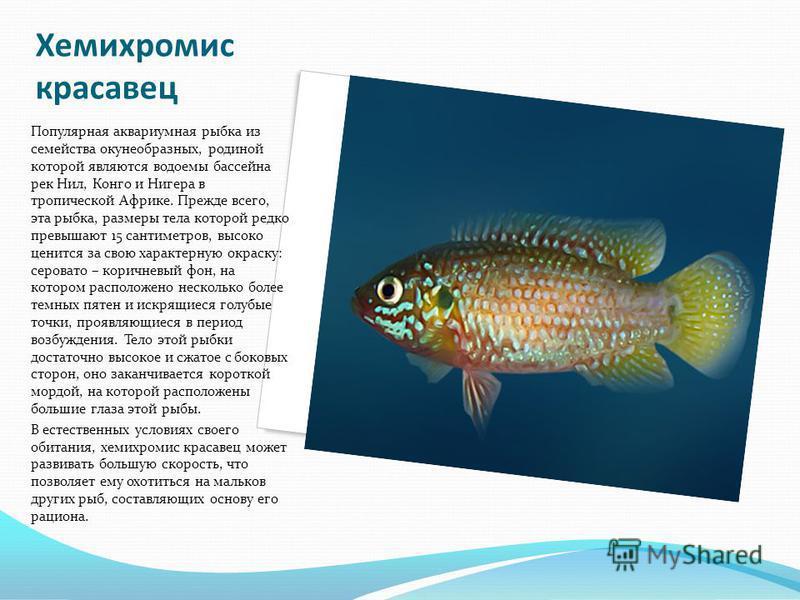 Хемихромис красавец Популярная аквариумная рыбка из семейства окунеобразных, родиной которой являются водоемы бассейна рек Нил, Конго и Нигера в тропической Африке. Прежде всего, эта рыбка, размеры тела которой редко превышают 15 сантиметров, высоко