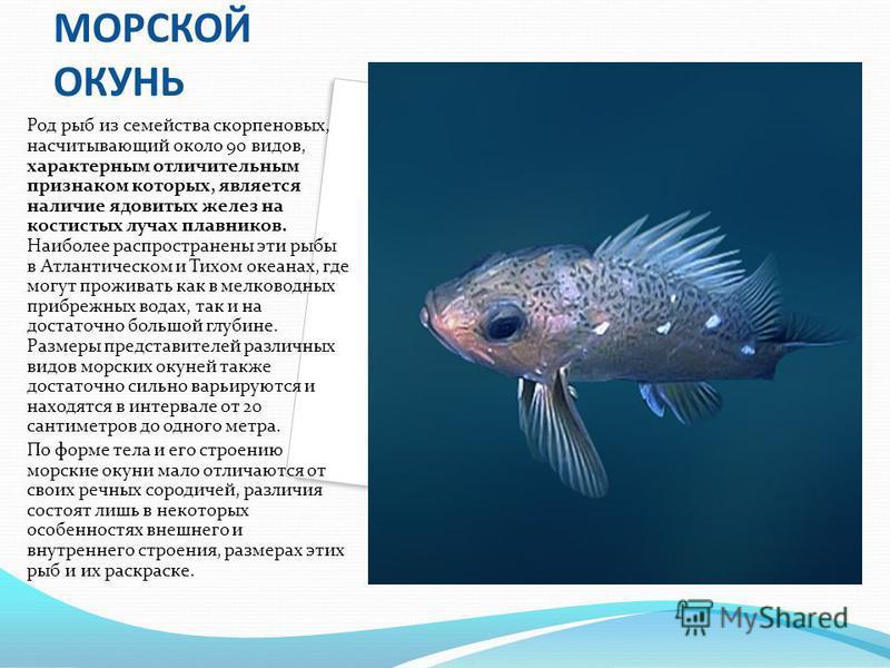 МОРСКОЙ ОКУНЬ Род рыб из семейства скорпеновых, насчитывающий около 90 видов, характерным отличительным признаком которых, является наличие ядовитых желез на костистых лучах плавников. Наиболее распространены эти рыбы в Атлантическом и Тихом океанах,