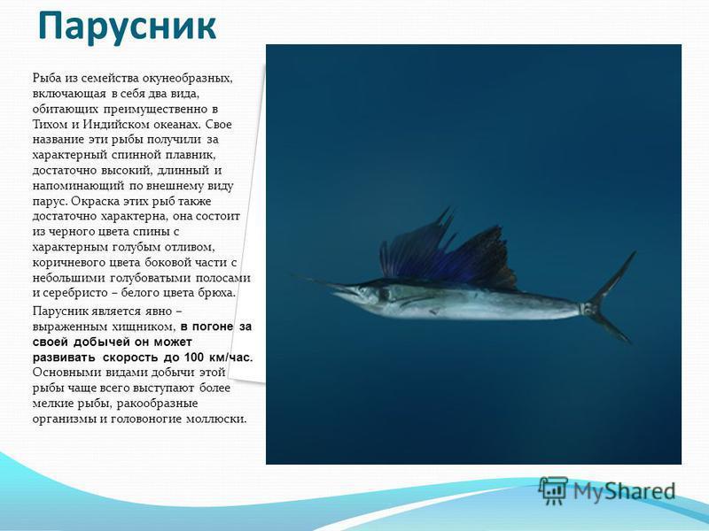 Парусник Рыба из семейства окунеобразных, включающая в себя два вида, обитающих преимущественно в Тихом и Индийском океанах. Свое название эти рыбы получили за характерный спинной плавник, достаточно высокий, длинный и напоминающий по внешнему виду п