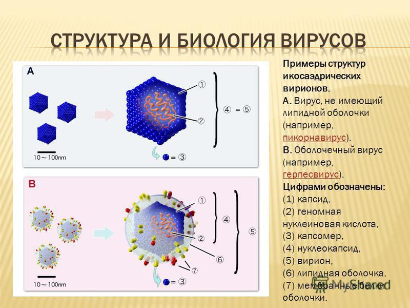 Примеры структур икосаэдрических вирионов. А. Вирус, не имеющий липидной оболочки (например, пикорнавирус). B. Оболочечный вирус (например, герпесвирус). Цифрами обозначены: (1) капсид, (2) геномная нуклеиновая кислота, (3) капсомер, (4) нуклеокапсид