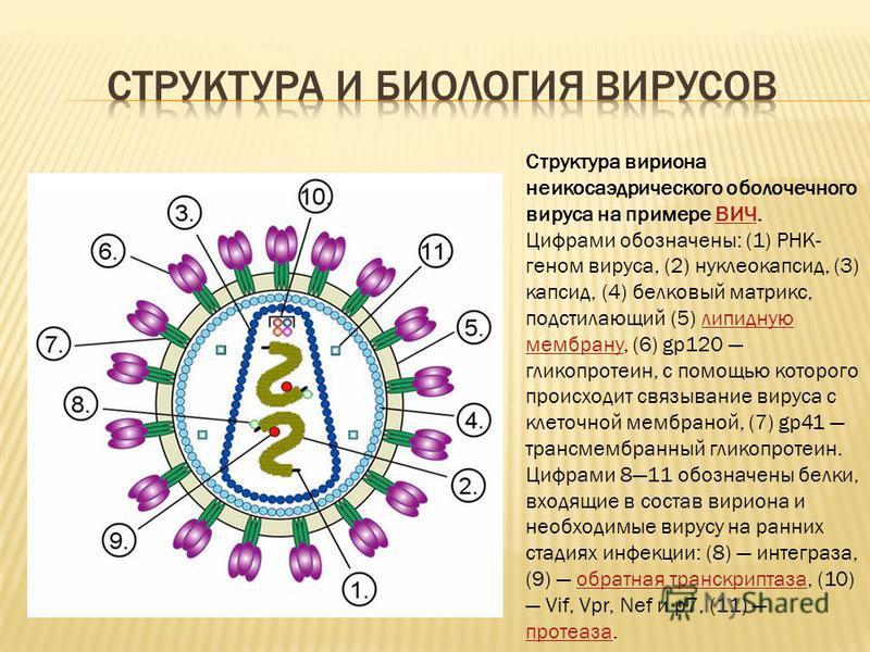 Структура вириона неикосаэдрического оболочечного вируса на примере ВИЧ. Цифрами обозначены: (1) РНК- геном вируса, (2) нуклеокапсид, (3) капсид, (4) белковый матрикс, подстилающий (5) липидную мембрану, (6) gp120 гликопротеин, с помощью которого про