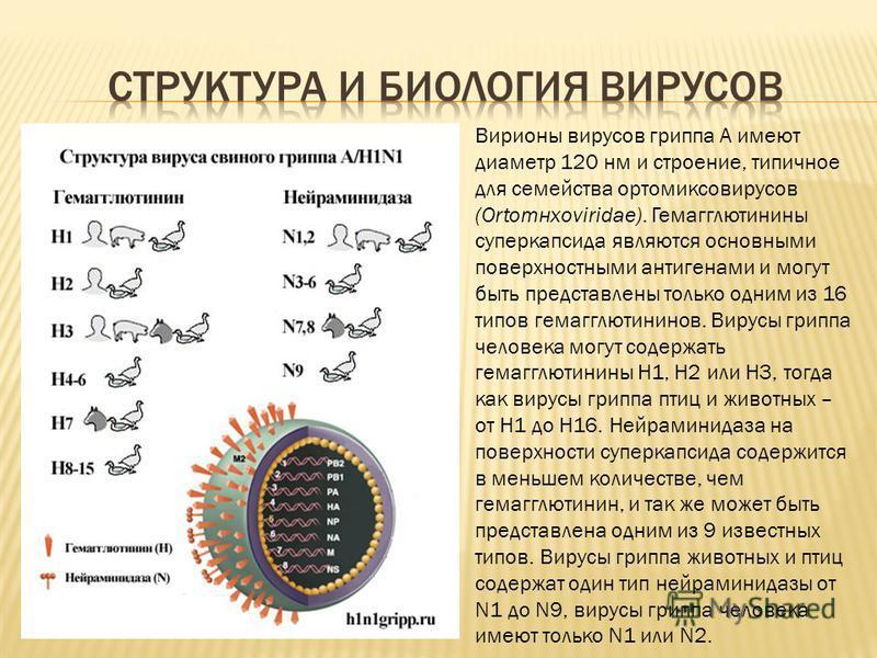 Вирионы вирусов гриппа А имеют диаметр 120 нм и строение, типичное для семейства ортомиксовирусов (Ortomнxoviridae). Гемагглютинины суперкапсида являются основными поверхностными антигенами и могут быть представлены только одним из 16 типов гемагглют