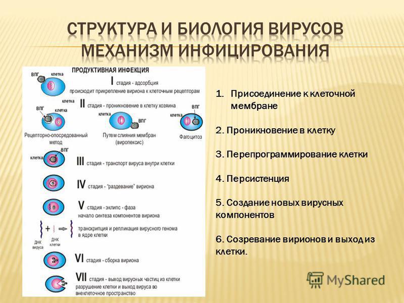 1. Присоединение к клеточной мембране 2. Проникновение в клетку 3. Перепрограммирование клетки 4. Персистенция 5. Создание новых вирусных компонентов 6. Созревание вирионов и выход из клетки.