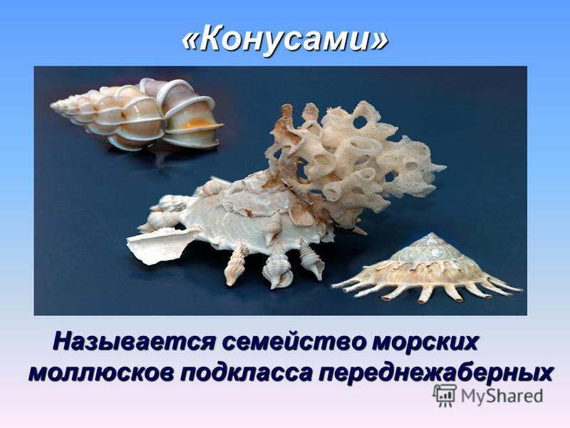 «Конусами» Называется семейство морских моллюсков подкласса переднежаберных Называется семейство морских моллюсков подкласса переднежаберных
