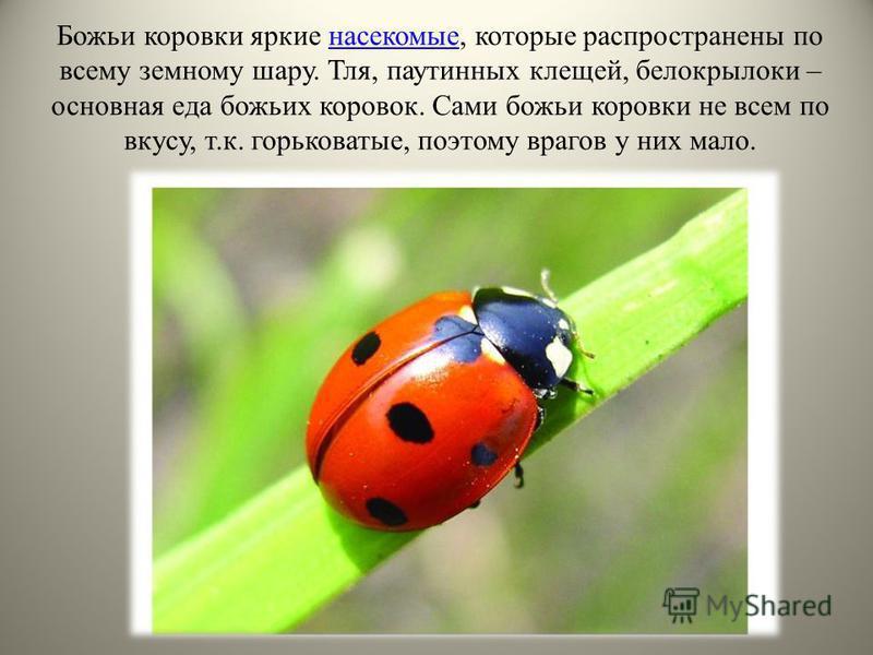 Божьи коровки яркие насекомые, которые распространены по всему земному шару. Тля, паутинных клещей, белокрылки – основная еда божьих коровок. Сами божьи коровки не всем по вкусу, т.к. горьковатые, поэтому врагов у них мало.насекомые