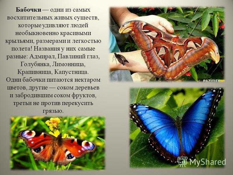 Бабочки одни из самых восхитительных живых существ, которые удивляют людей необыкновенно красивыми крыльями, размерами и легкостью полета! Названия у них самые разные: Адмирал, Павлиний глаз, Голубянка, Лимонница, Крапивница, Капустница. Одни бабочки