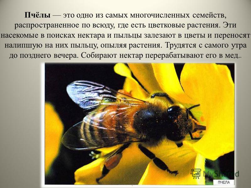 Пчёлы это одно из самых многочисленных семейств, распространенное по всюду, где есть цветковые растения. Эти насекомые в поисках нектара и пыльцы залезают в цветы и переносят налипшую на них пыльцу, опыляя растения. Трудятся с самого утра до позднего