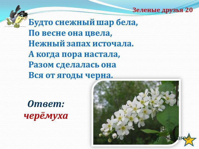 Зеленые друзья 20 Ответ: черёмуха Будто снежный шар бела, По весне она цвела, Нежный запах источала. А когда пора настала, Разом сделалась она Вся от ягоды черна.