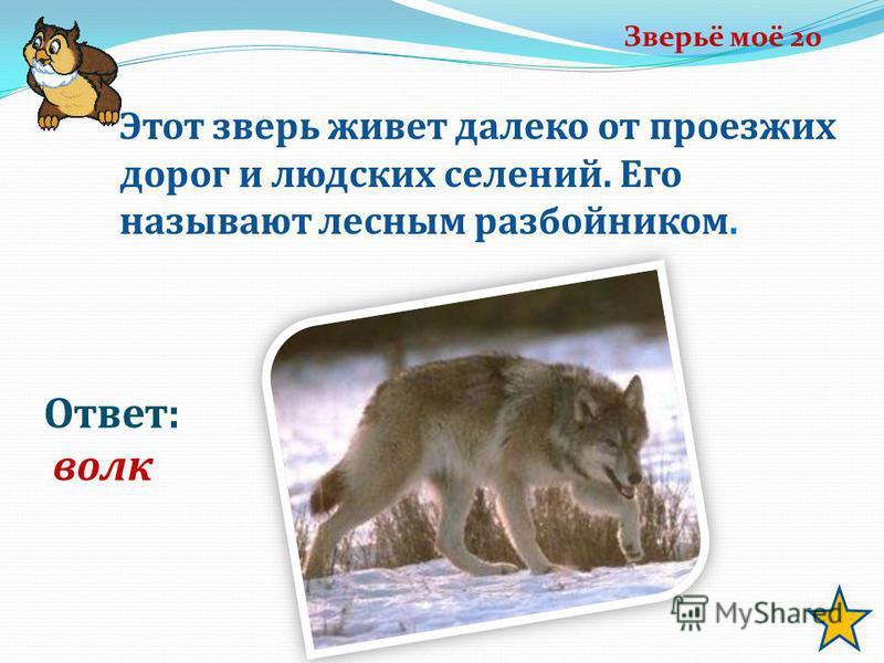 Зверьё моё 20 Ответ: волк Этот зверь живет далеко от проезжих дорог и людских селений. Его называют лесным разбойником.