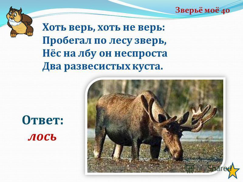 Зверьё моё 40 Ответ: лось Хоть верь, хоть не верь: Пробегал по лесу зверь, Нёс на лбу он неспроста Два развесистых куста.