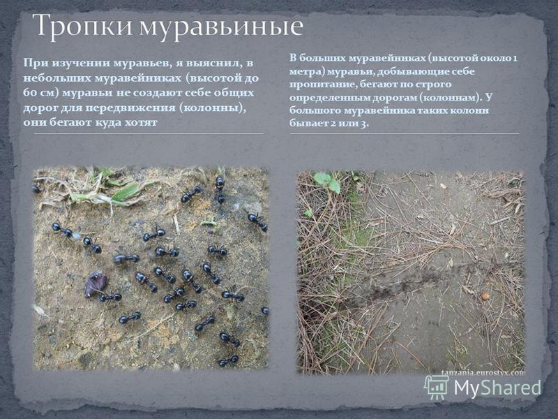 При изучении муравьев, я выяснил, в небольших муравейниках (высотой до 60 см) муравьи не создают себе общих дорог для передвижения (колонны), они бегают куда хотят В больших муравейниках (высотой около 1 метра) муравьи, добывающие себе пропитание, бе