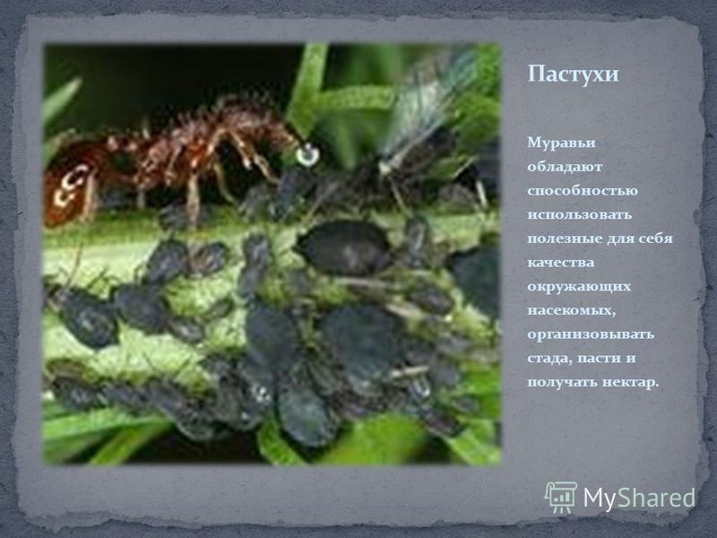 Муравьи обладают способностью использовать полезные для себя качества окружающих насекомых, организовывать стада, пасти и получать нектар.