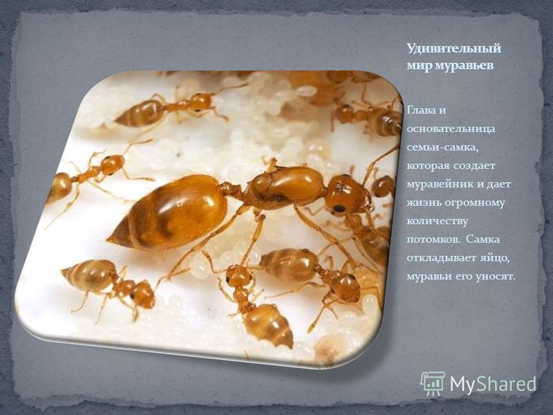 Глава и основательница семьи-самка, которая создает муравейник и дает жизнь огромному количеству потомков. Самка откладывает яйцо, муравьи его уносят.