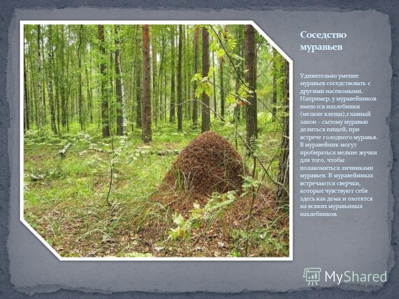 Удивительно умение муравьев соседствовать с другими насекомыми. Например, у муравейников имеются нахлебники (мелкие клещи),главный закон – сытому муравью делиться пищей, при встрече голодного муравья. В муравейник могут пробираться мелкие жучки для т