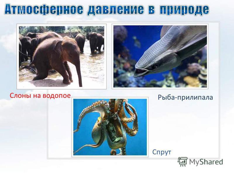 Слоны на водопое Спрут Рыба-прилипала