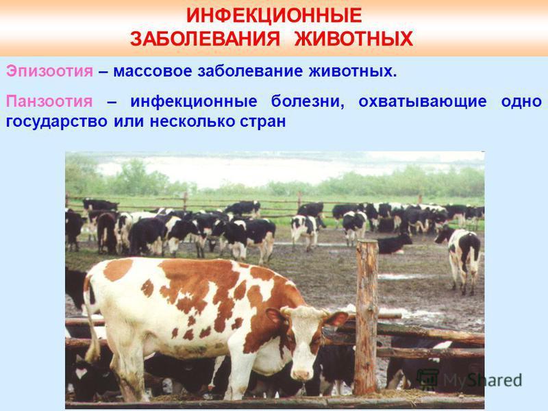 ИНФЕКЦИОННЫЕ ЗАБОЛЕВАНИЯ ЖИВОТНЫХ Эпизоотия – массовое заболевание животных. Панзоотия – инфекционные болезни, охватывающие одно государство или несколько стран