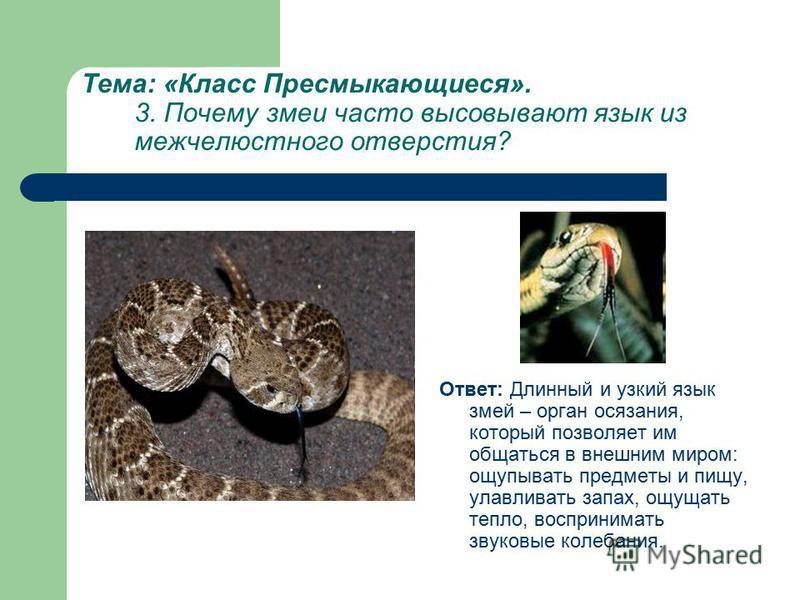 Тема: «Класс Пресмыкающиеся». 3. Почему змеи часто высовывают язык из межчелюстного отверстия? Ответ: Длинный и узкий язык змей – орган осязания, который позволяет им общаться в внешним миром: ощупывать предметы и пищу, улавливать запах, ощущать тепл