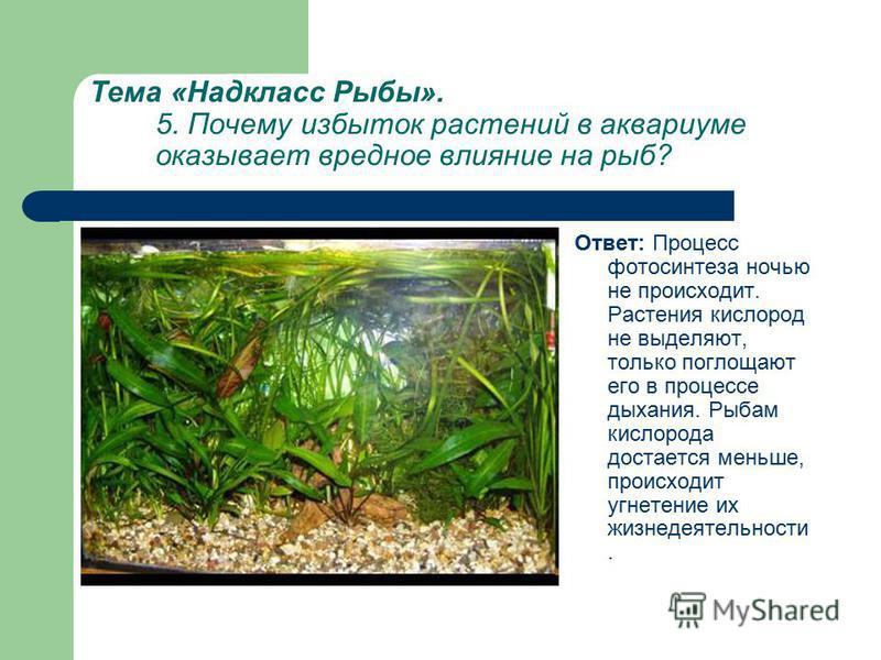 Тема «Надкласс Рыбы». 5. Почему избыток растений в аквариуме оказывает вредное влияние на рыб? Ответ: Процесс фотосинтеза ночью не происходит. Растения кислород не выделяют, только поглощают его в процессе дыхания. Рыбам кислорода достается меньше, п