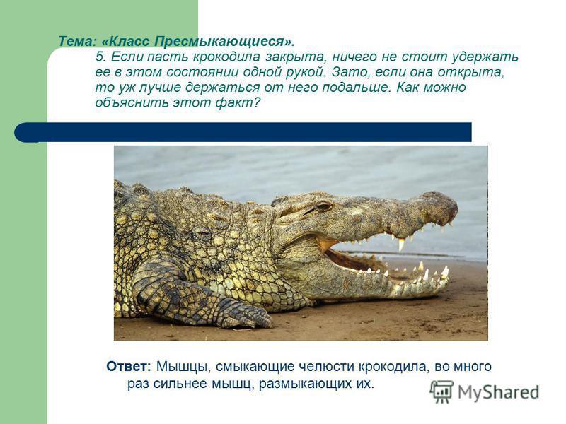 Тема: «Класс Пресмыкающиеся». 5. Если пасть крокодила закрыта, ничего не стоит удержать ее в этом состоянии одной рукой. Зато, если она открыта, то уж лучше держаться от него подальше. Как можно объяснить этот факт? Ответ: Мышцы, смыкающие челюсти кр