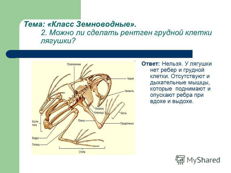 Тема: «Класс Земноводные». 2. Можно ли сделать рентген грудной клетки лягушки? Ответ: Нельзя. У лягушки нет ребер и грудной клетки. Отсутствуют и дыхательные мышцы, которые поднимают и опускают ребра при вдохе и выдохе.