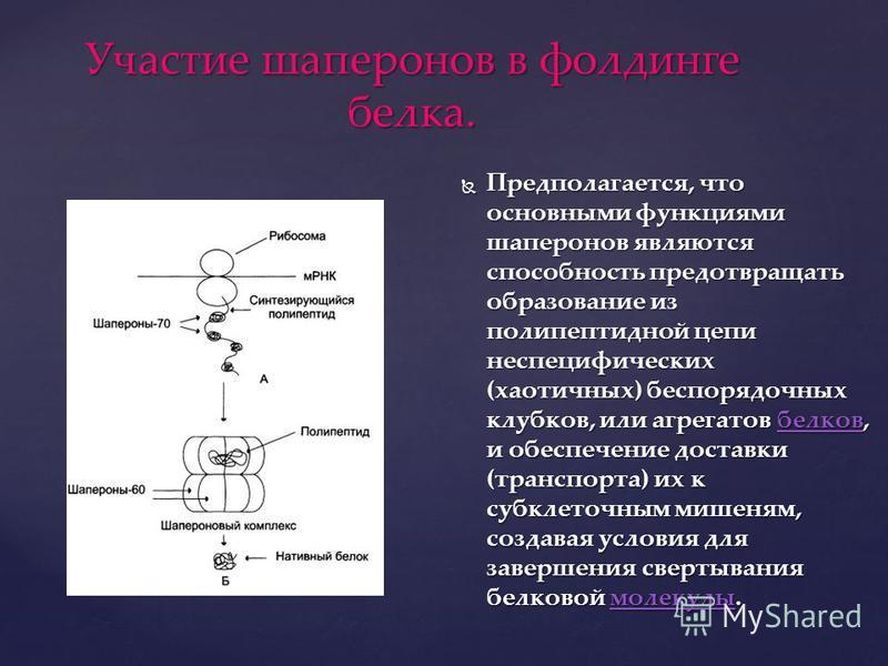 Участие шаперонов в фолдинге белка. Предполагается, что основными функциями шаперонов являются способность предотвращать образование из полипептидной цепи неспецифических (хаотичных) беспорядочных клубков, или агрегатов белков, и обеспечение доставки
