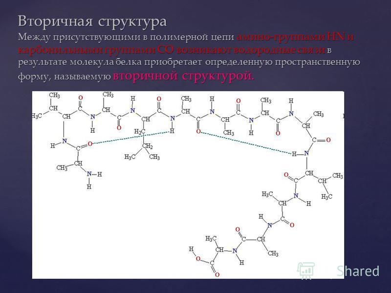 Вторичная структура Между присутствующими в полимерной цепи амино-группами HN и карбонильными группами CO возникают водородные связи в результате молекула белка приобретает определенную пространственную форму, называемую вторичной структурой.