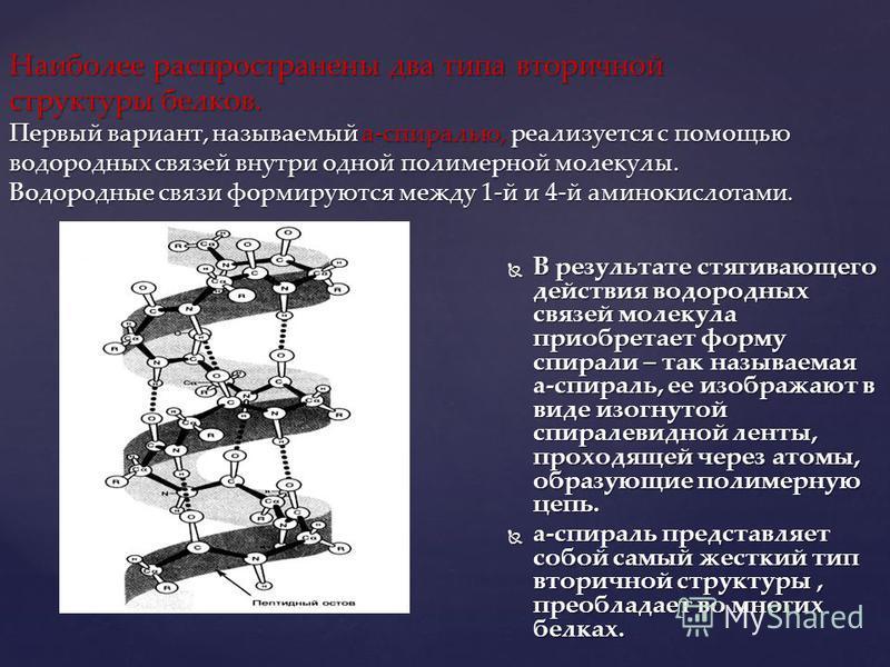 Наиболее распространены два типа вторичной структуры белков. Первый вариант, называемый a-спиралью, реализуется с помощью водородных связей внутри одной полимерной молекулы. Водородные связи формируются между 1-й и 4-й аминокислотами. В результате ст