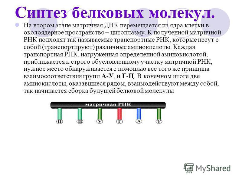 Синтез белковых молекул. На втором этапе матричная ДНК перемещается из ядра клетки в околоядерное пространство – цитоплазму. К полученной матричной РНК подходят так называемые транспортные РНК, которые несут с собой (транспортируют) различные аминоки