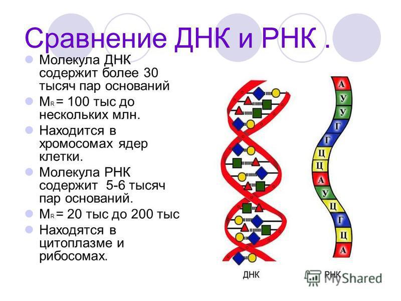 Сравнение ДНК и РНК. Молекула ДНК содержит более 30 тысяч пар оснований М R = 100 тыс до нескольких млн. Находится в хромосомах ядер клетки. Молекула РНК содержит 5-6 тысяч пар оснований. М R = 20 тыс до 200 тыс Находятся в цитоплазме и рибосомах.