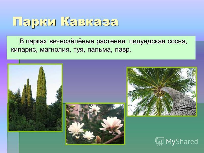Парки Кавказа В парках вечнозёлёные растения: пицундская сосна, кипарис, магнолия, туя, пальма, лавр.