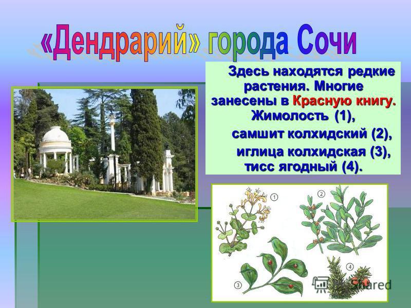 Здесь находятся редкие растения. Многие занесены в Красную книгу. Жимолость (1), самшит колхидский (2), иглица колхидская (3), тис ягодный (4). иглица колхидская (3), тис ягодный (4).